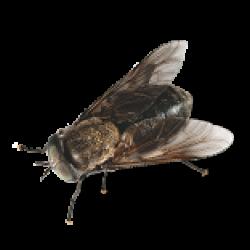 moustique5